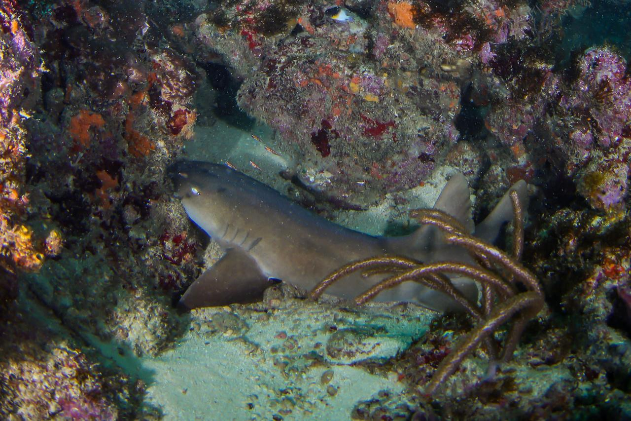 Dive-Baby nurse shark